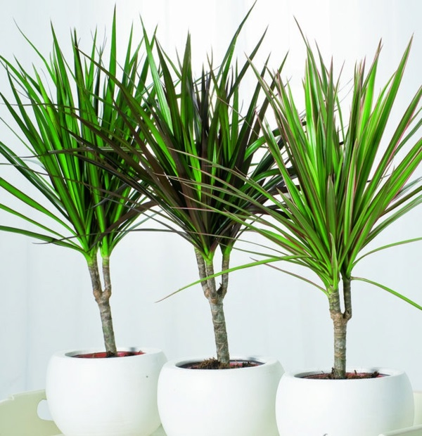 indoor plants easy care pictures potted plants dragon tree