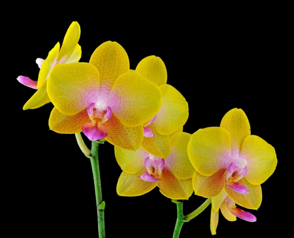 orchid species Phalaenopsis Orchid yellow flowers