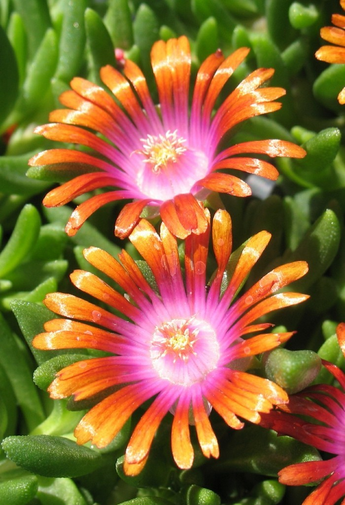 succulents species genus Delosperma