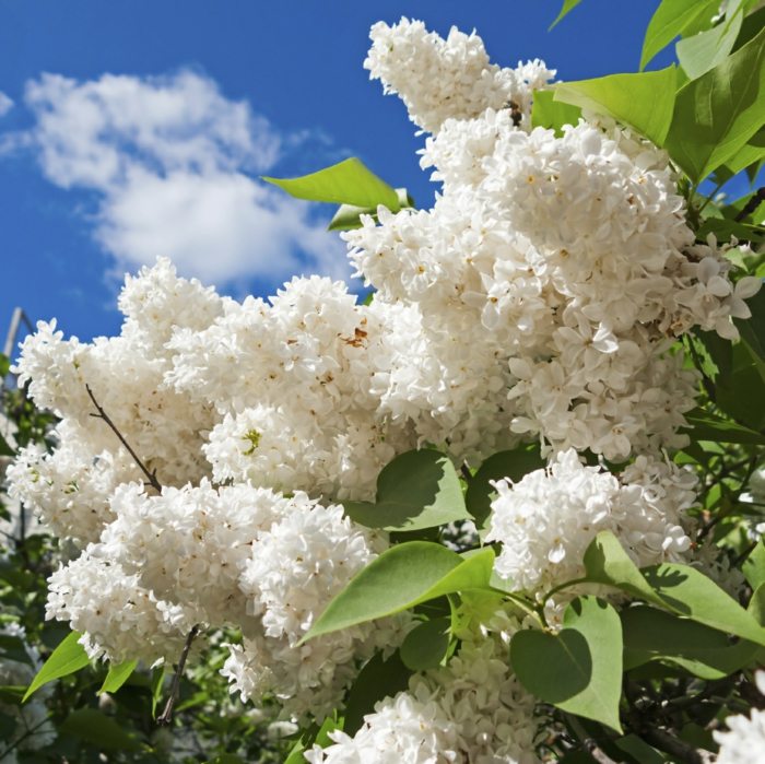 gardening ideas lilac lilacs multiply