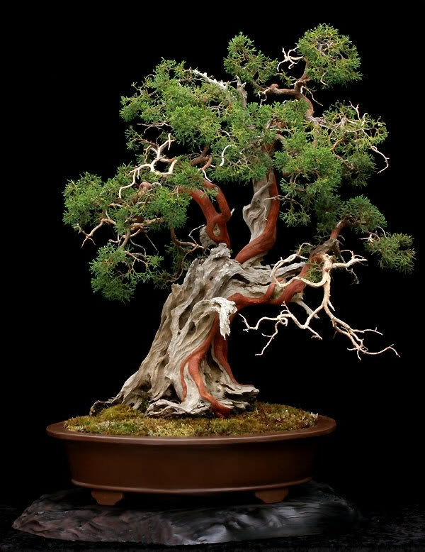 bonsai tree garden plant landscaping