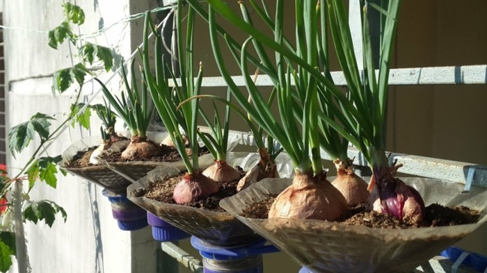 balcony planting pot vegetable onion