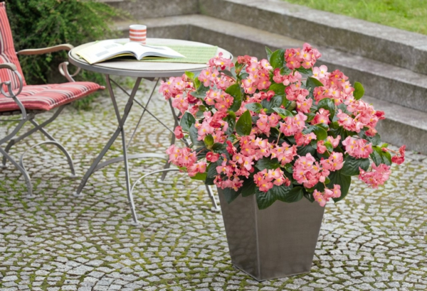 begonia care garden design deco ideas