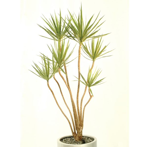 dragon tree care dracaena marginata white flowerpot
