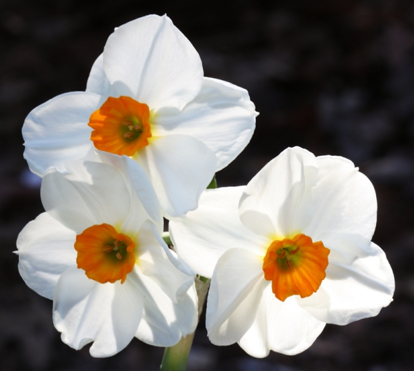 white daffodil spring flowers deco