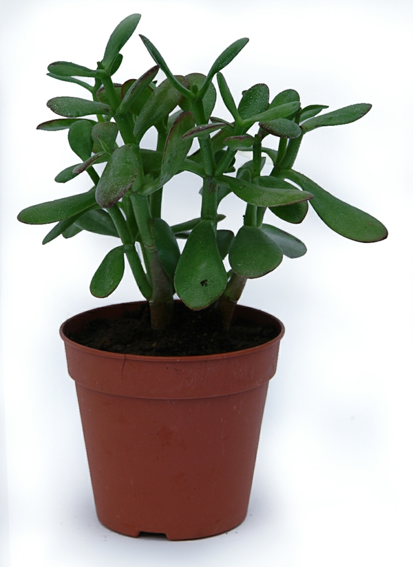 Crassula ovata green flowerpot beautiful deco ideas
