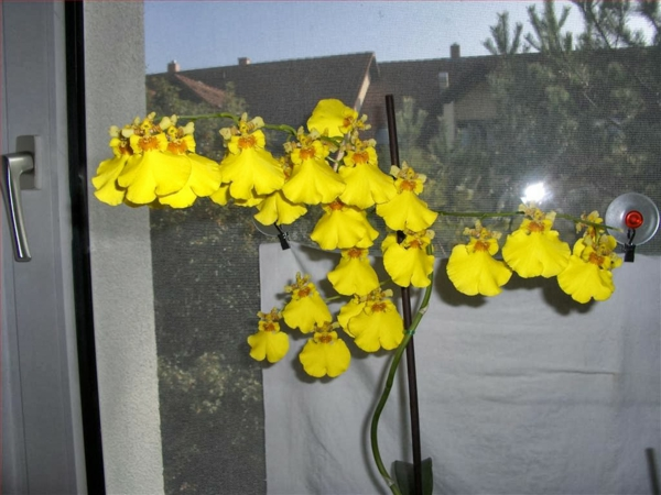 the most beautiful indoor plants oncidium orchid potted plants Beautiful indoor plants