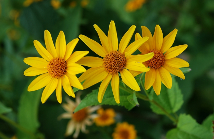 autumn flowers heliopsis helianthoides garden sunflower