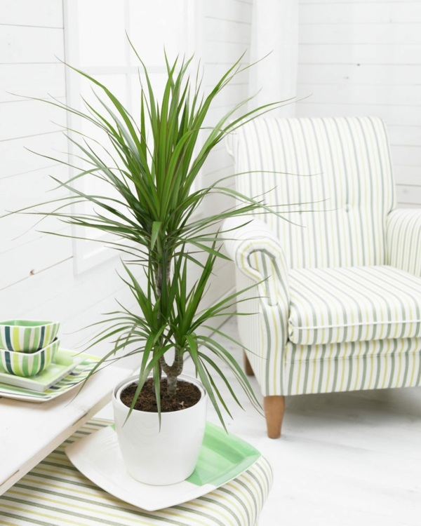 plants indoor plants Dracaena marginata living room