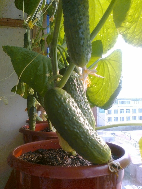 to grow cucumbers in the pot