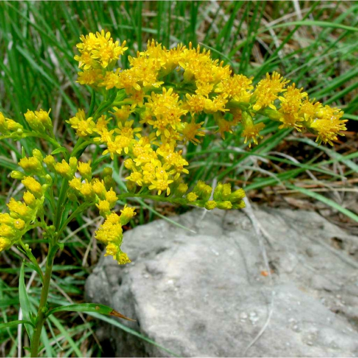 autumn flowers garden beautify garden plants Common goldenrod