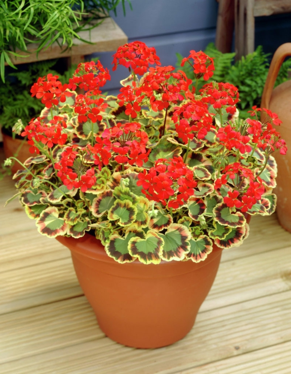 easy-care balcony plants red geraniums