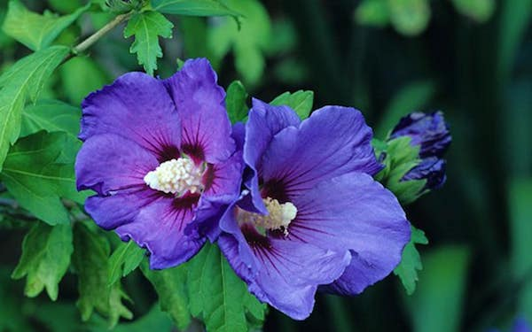 Hibiscus chinese rose blue flowers attractive