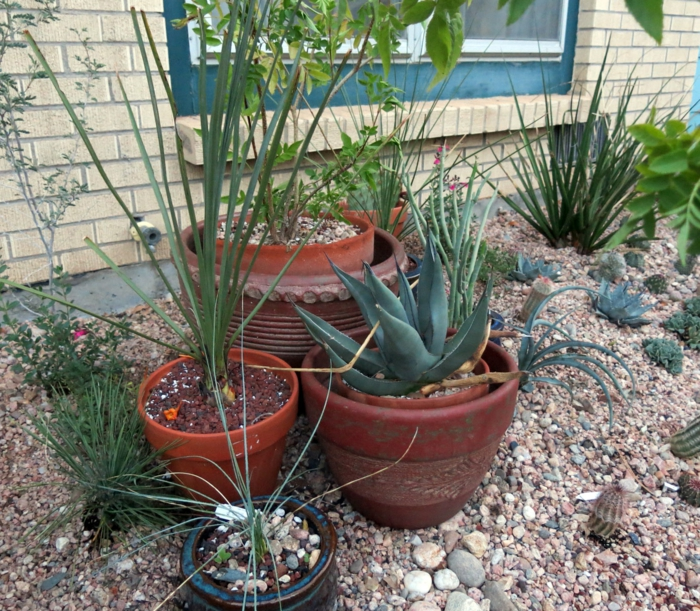 easy-care gardens agave other plants pebbles
