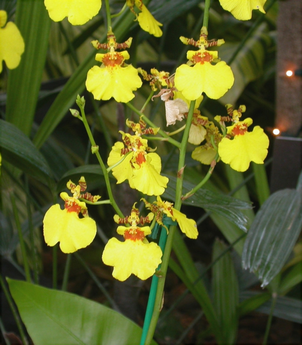 indoor plants pictures beautiful indoor plants oncidium orchid