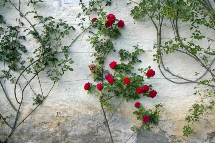 trellis in the garden for the beautiful climbing roses