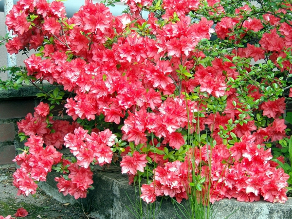 indoor plants easy care pictures potted azalea