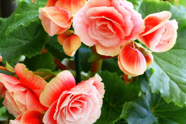 begonia care orange flowers garden plant