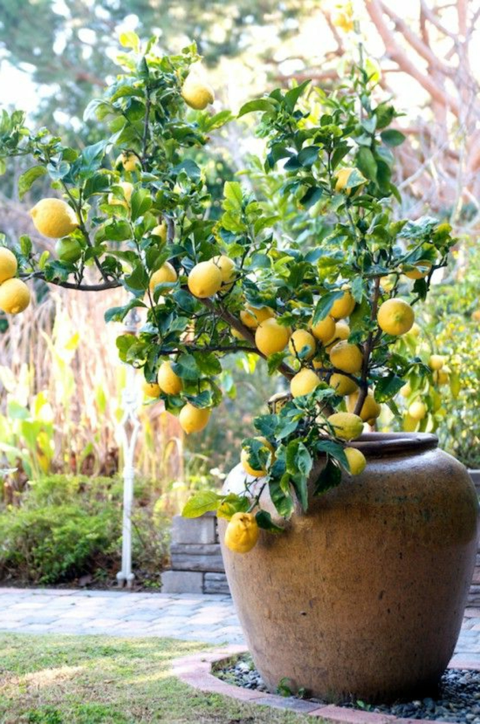 lemon tree care large plant container garden framing