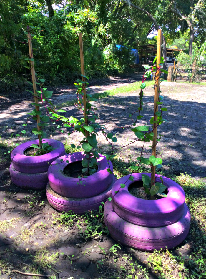 gardening garden plants old car tires repainting reuse purple