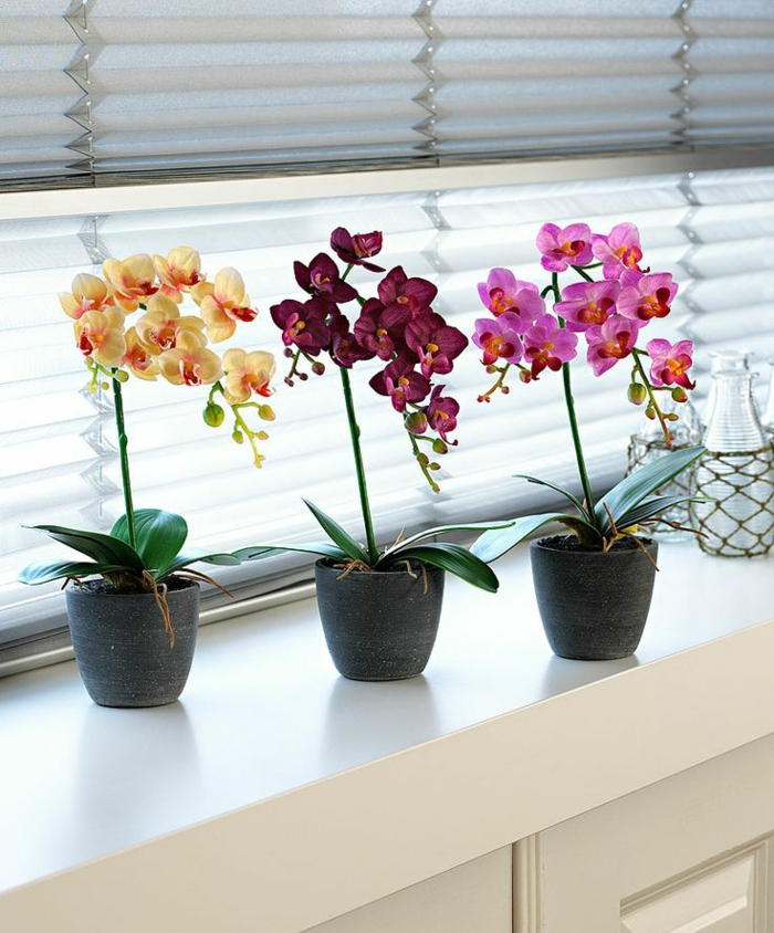 orchid care Phalaenopsis orchid window