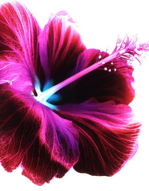 Hibiscus flower fine forms
