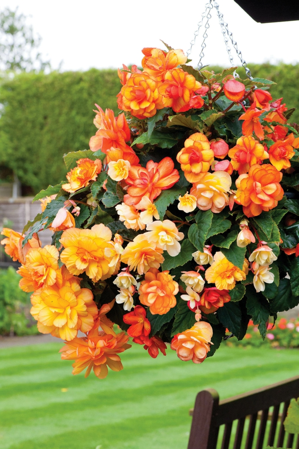 begonia care hanging basket deco ideas