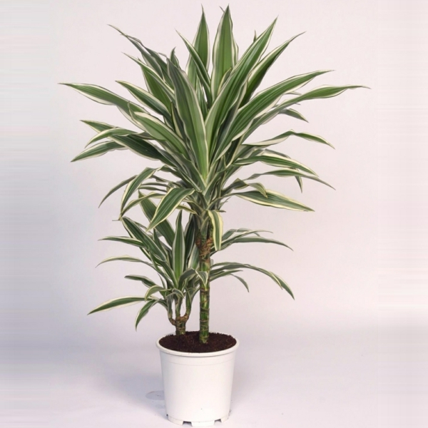 indoor plants dragon Dracaena deremensis deko