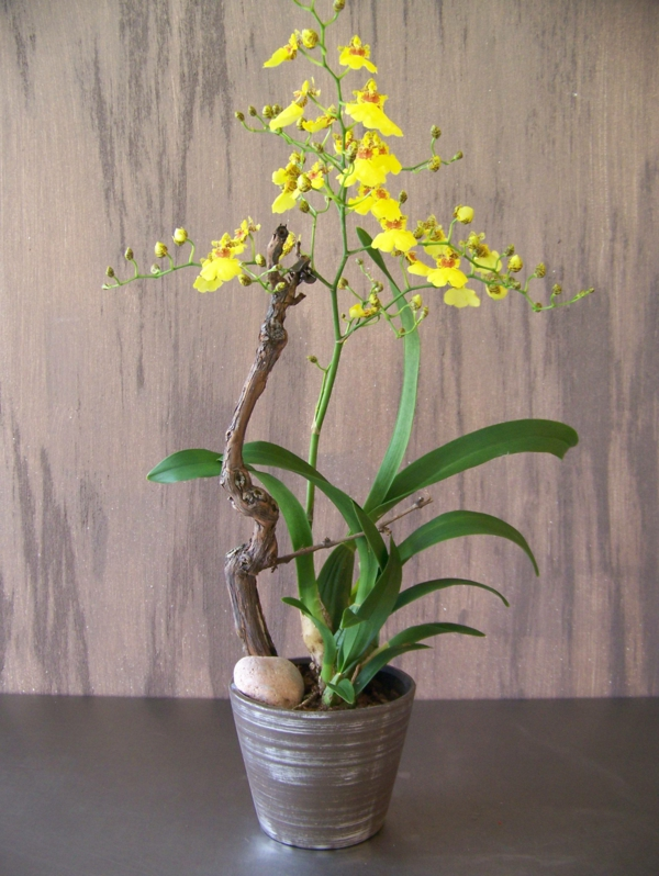 indoor plants pictures oncidium orchid beautiful indoor plants