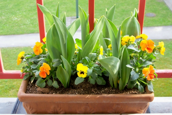 easy-care balcony plants Pansy yellow fresh