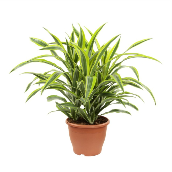 beautiful dragon tree garden plant care