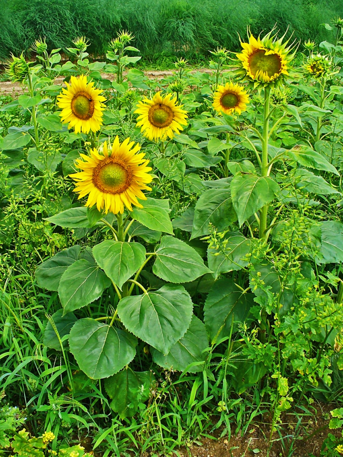 deco ideas garden garden flowers autumn sunflower