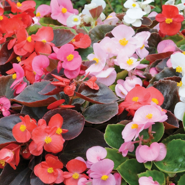 begonia different colors garden