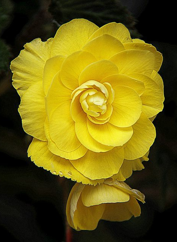 yellow begonia flower garden plant