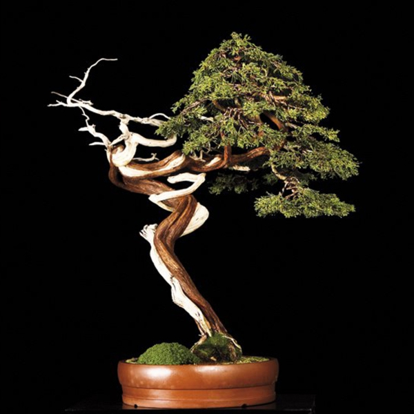 bonsai plant garden plant decoration