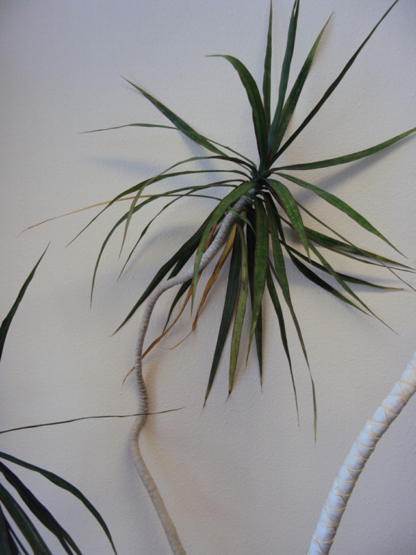 Dracaena Marginata beautiful decoide indoor plants