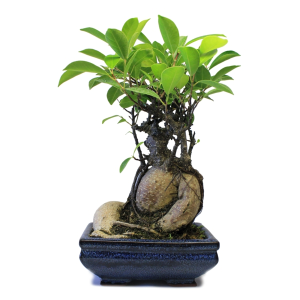 mini bonsai tree interesting plant