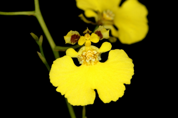 orchids oncidium orchid yellow orchids