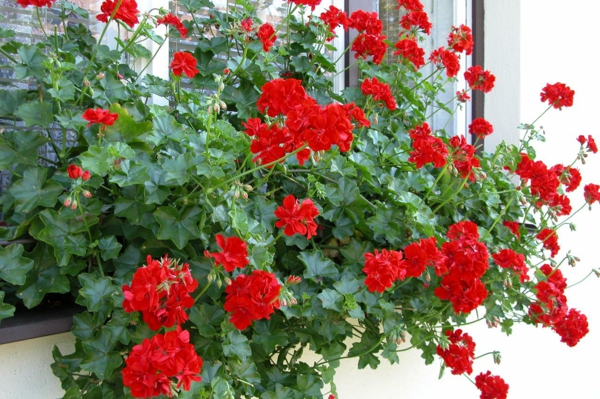balcony plants geraniums breed red flowers