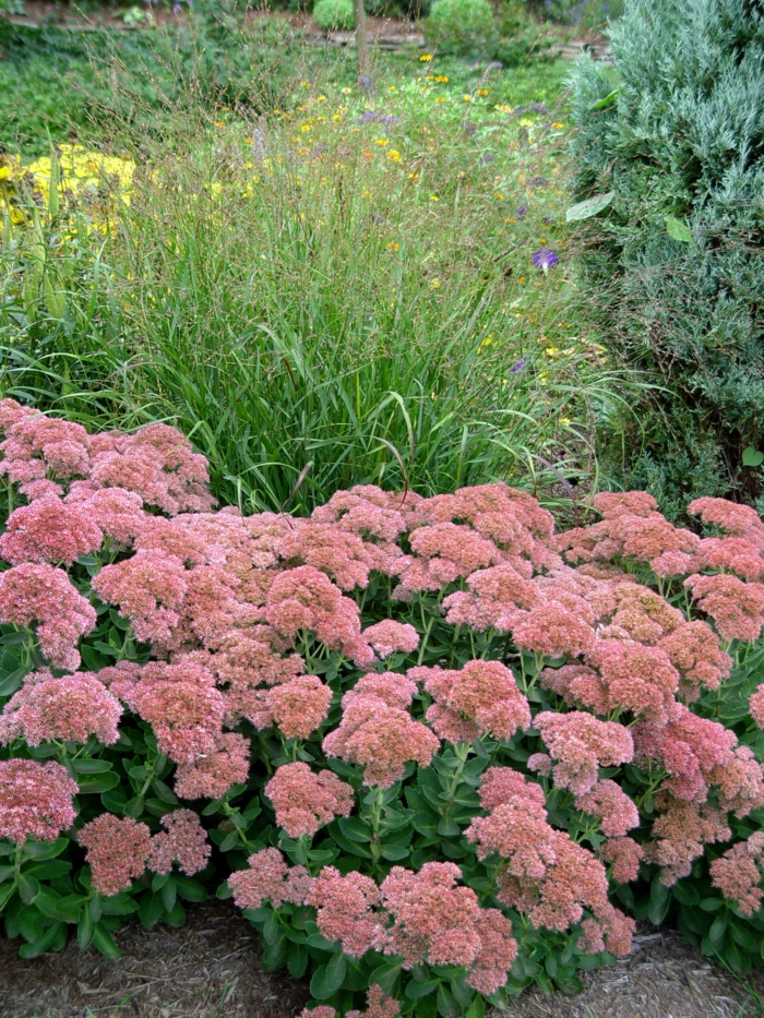 autumn plants sedum garden decoration ideas garden plants garden beautify