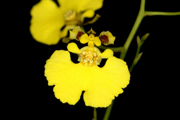 oncidium orchid beautiful indoor plants