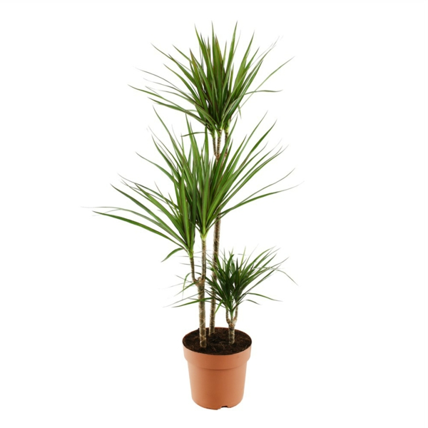 dragon tree care Dracaena Marginata plant