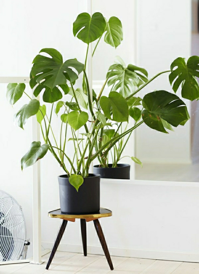 delicious window-leaf zimerpflanzen easy-care potted plants