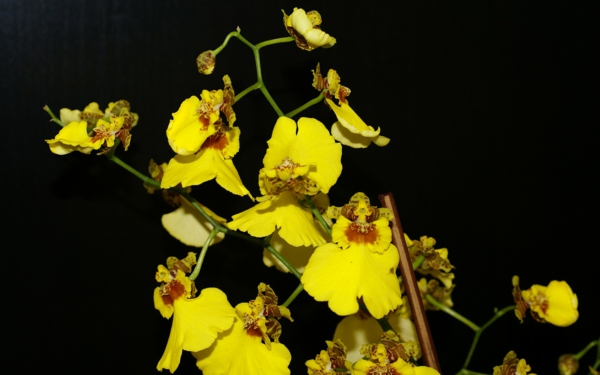 the most beautiful indoor plants oncidium orchid beautiful indoor plants