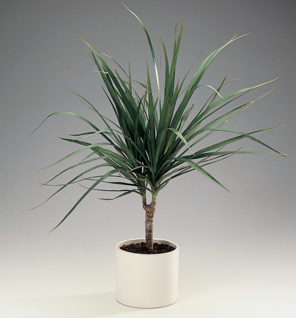 dragon tree Dracaena Marginata decoration ideas at home
