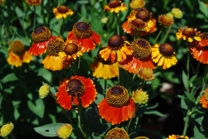 decoration ideas garden sunbath helenium