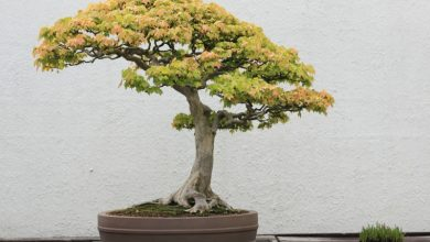 Photo of Buy bonsai tree and maintain it properly – some valuable tips