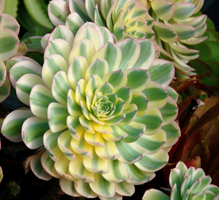 succulents species Aeonium decorating plants