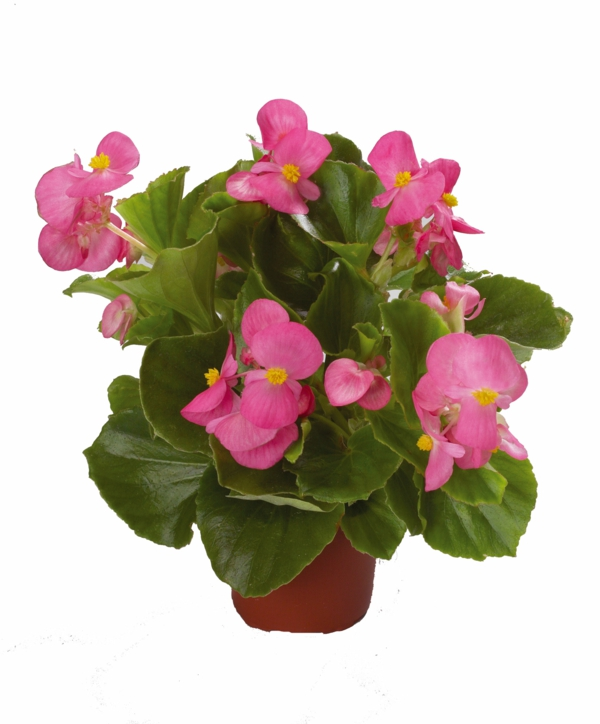begonia care deco ideas pink flowers flower pot