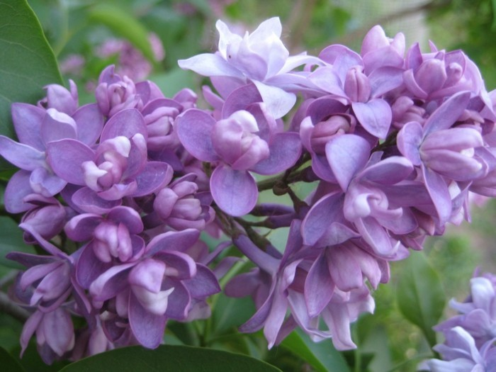 lilac as a fragrance for garden and house